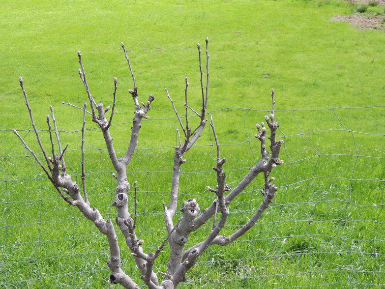 Nouveau Pommiers en bourgeon